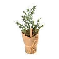Aromatische Pflanze Thymian, mit Kraftpapier verpackt