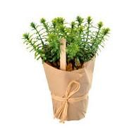 Rosmarin-Duftpflanze, Kunststoff, Eistopf mit Kraftpapier